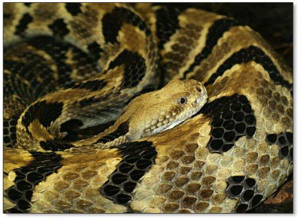 Rattlesnakes remain active