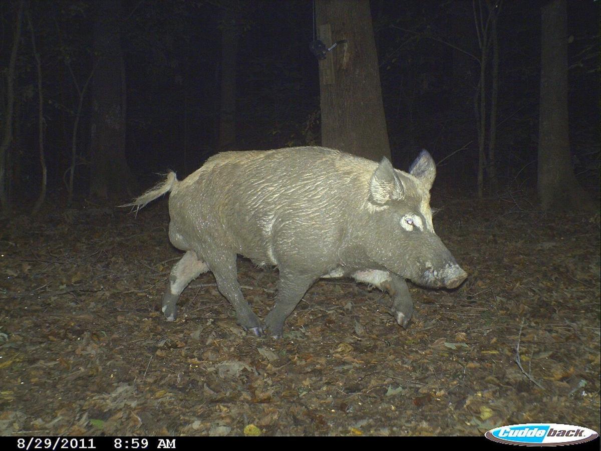 wild hogs can be dilemma for south carolina deer hunters
