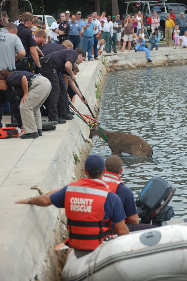 Trapped deer removed from Colonial Lake