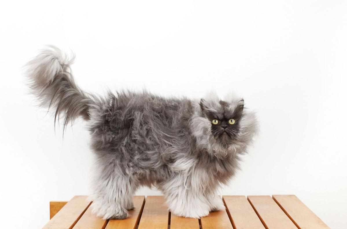 Hair of the cat can be toxic
