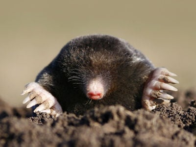 Going after molesGoing after moles