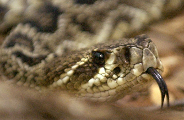 Disappearing diamondbacks relocated to longleaf woods