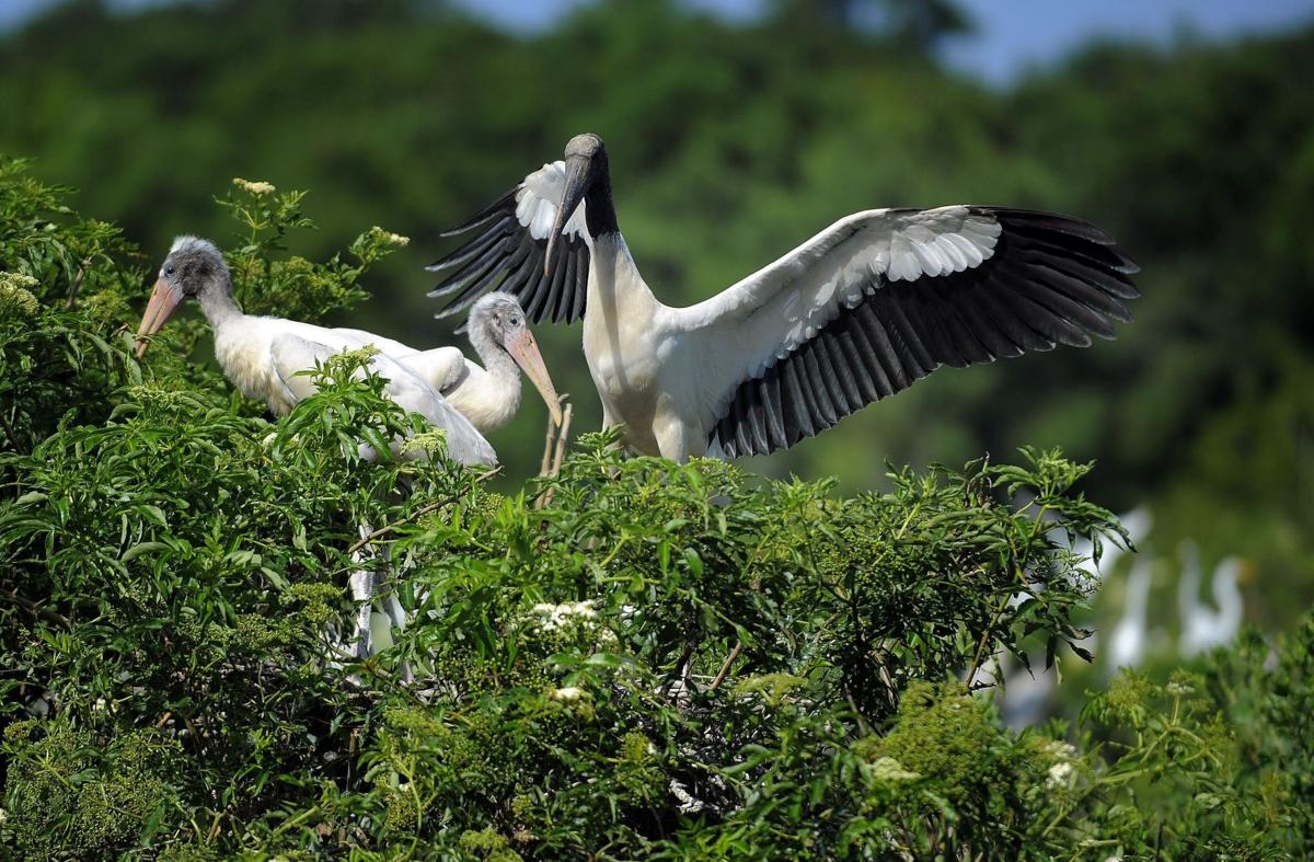 Wood stork still mysterious even as nest numbers climb in SC