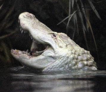 Voters christen alligator Alabaster