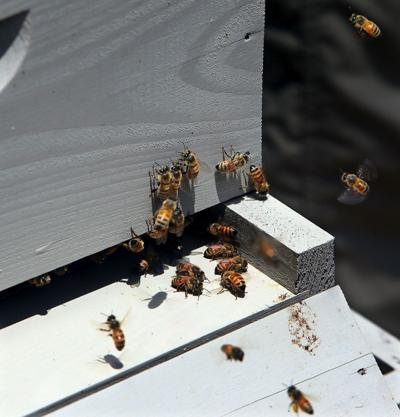 Feds propose multi-pronged plan to bolster decline in bees