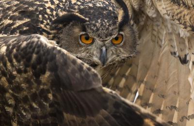 Eurasian eagle owl Birds of Prey