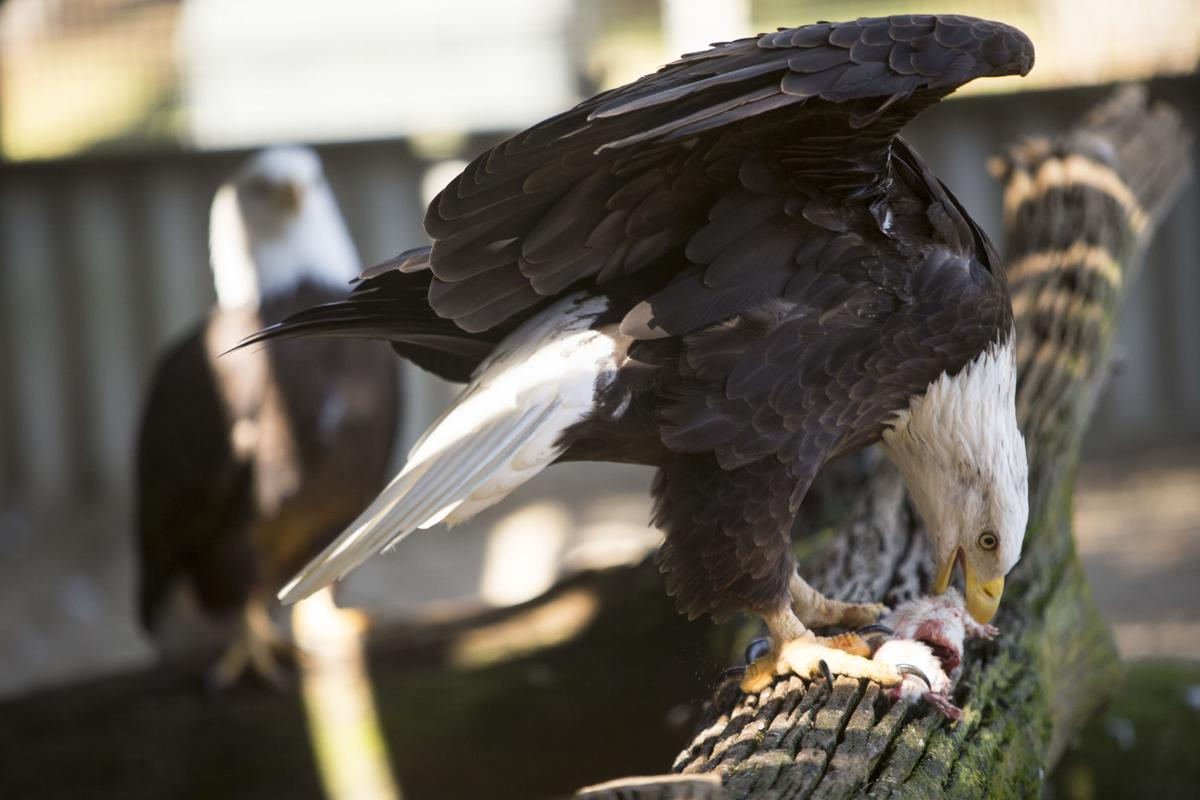LEDE Bald Eagles feeding.JPG