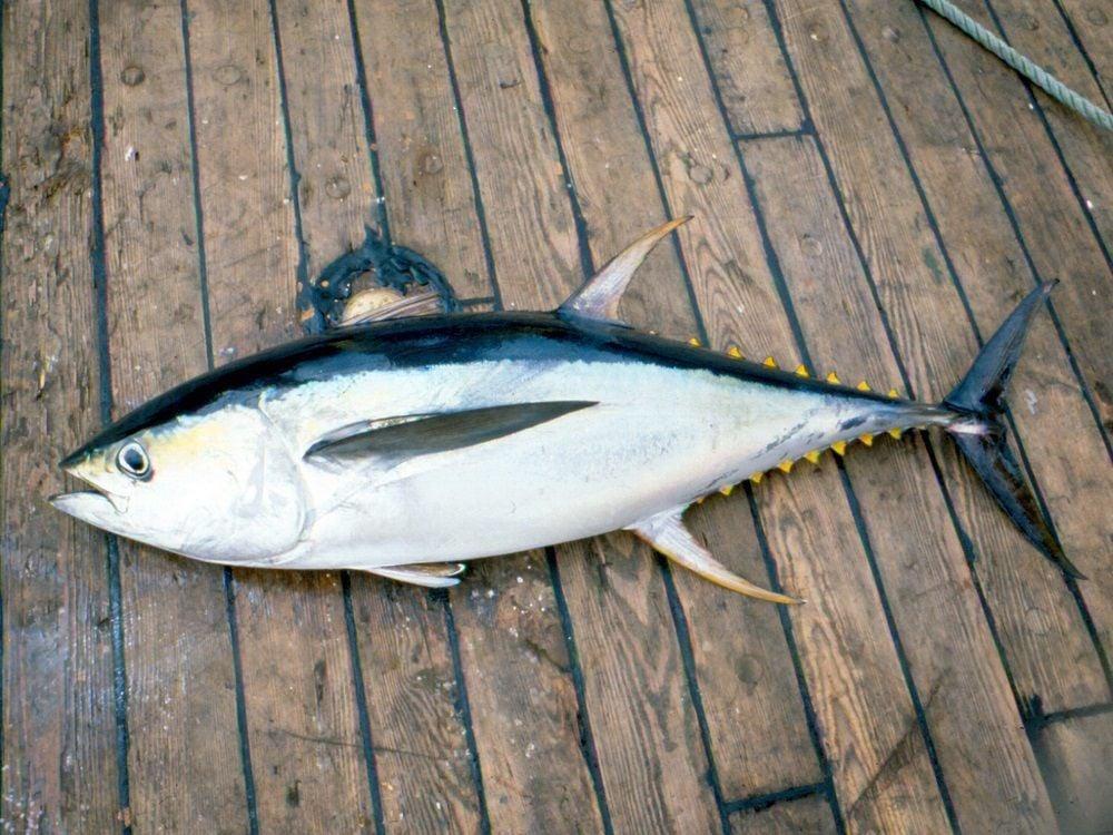 Yellowfin tuna rumors are good news for S.C. anglers