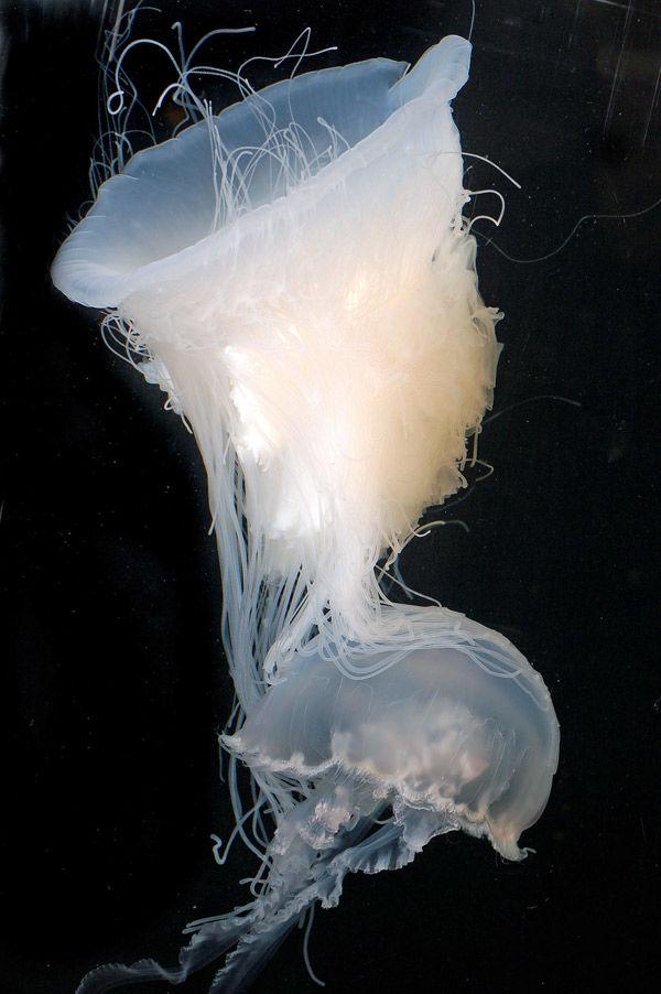 Rare 'pink meanie' jellyfish chance catch
