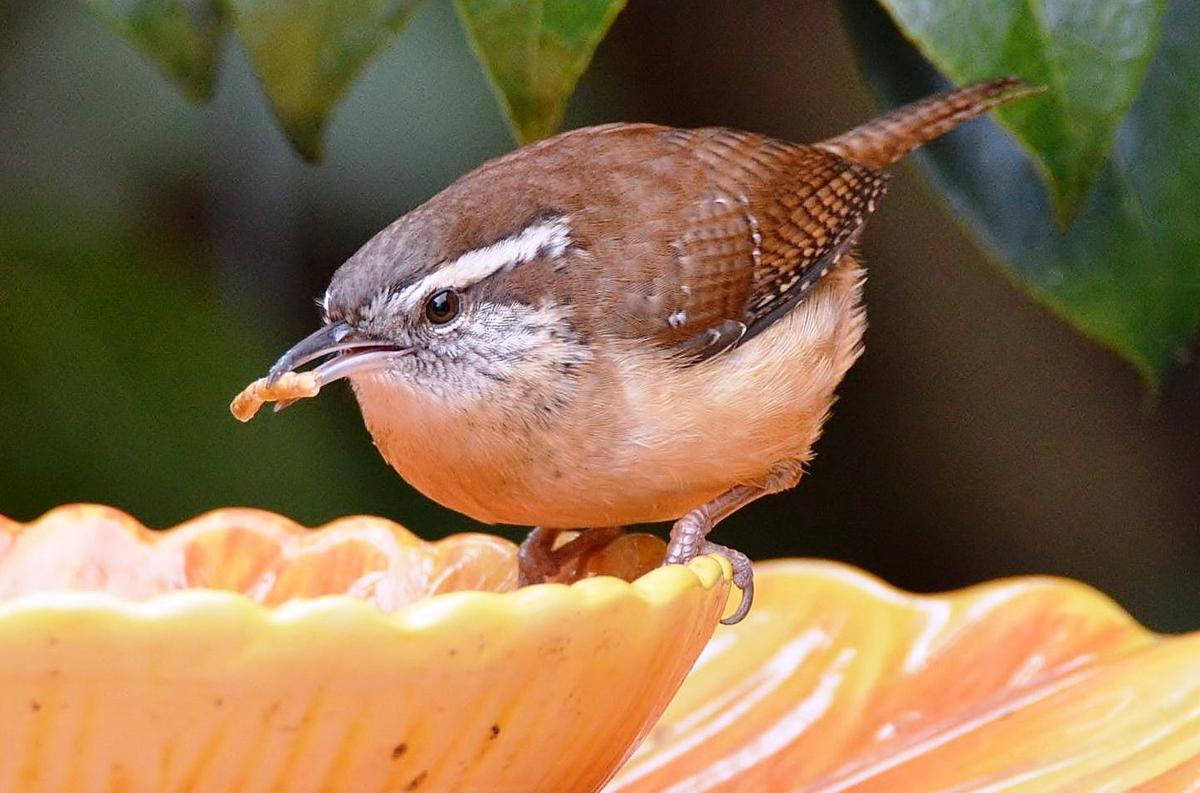 charleston bird watchers the great backyard bird count is coming