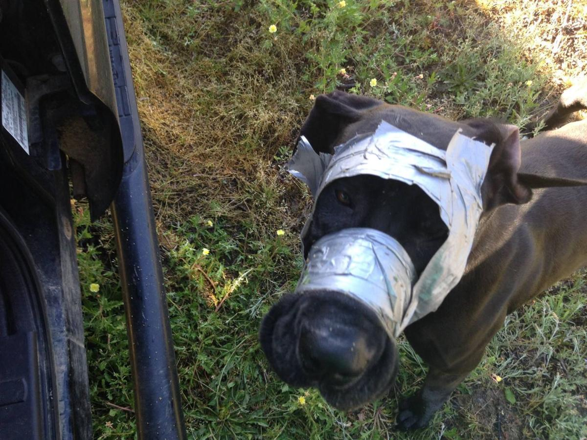 Great Dane found with duct tape over mouth, head