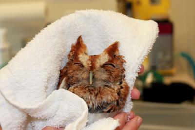 Owl found in road on way to recovery