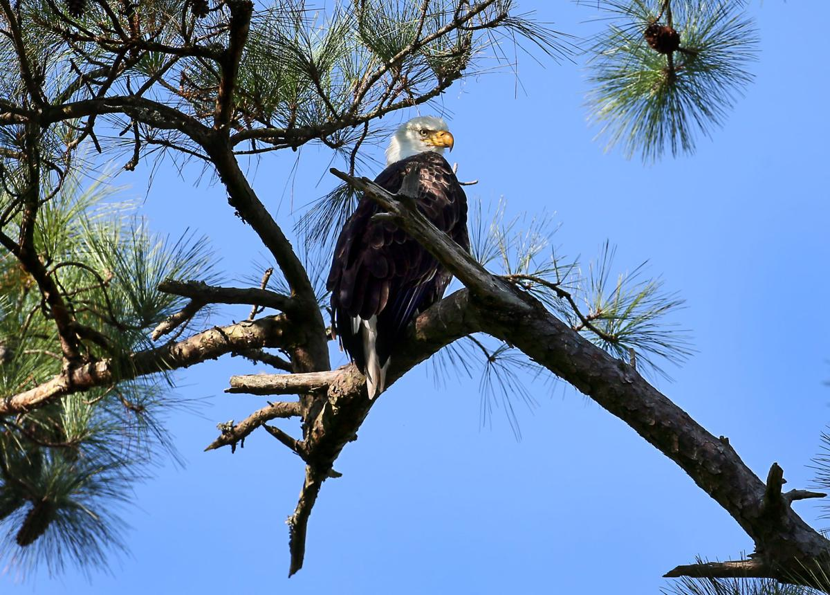 'Most watched' eagles nesting again in Mount Pleasant ...