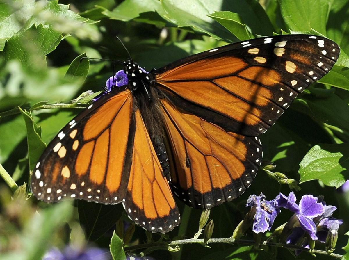 Government to spend $3.2 million to help monarch butterfly Monarch butterflies winter numbers rebound, but not much