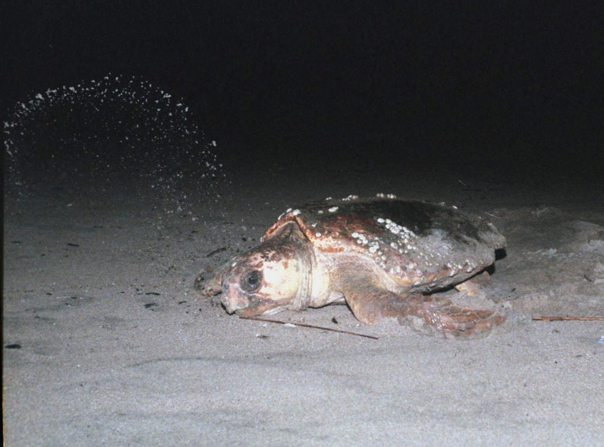 Year's first sea turtles to be released at Isle of Palms