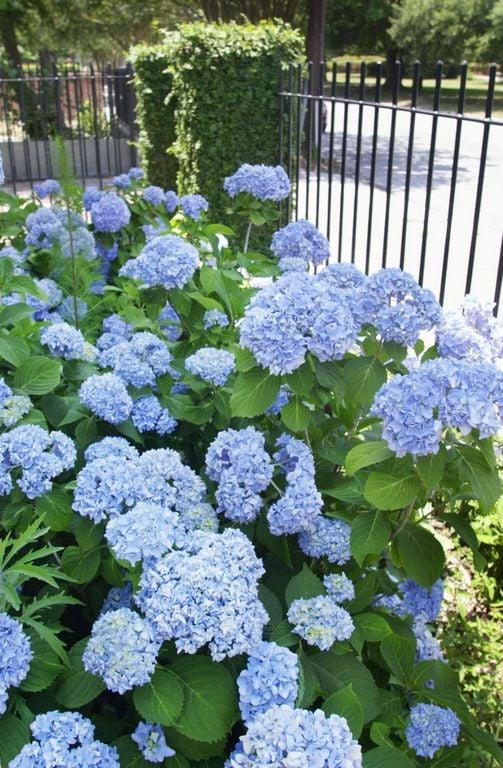 Tips For Pruning Hydrangeas Home And Garden Postandcourier Com