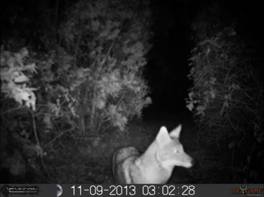 Trapper on the prowl for IOP coyotes