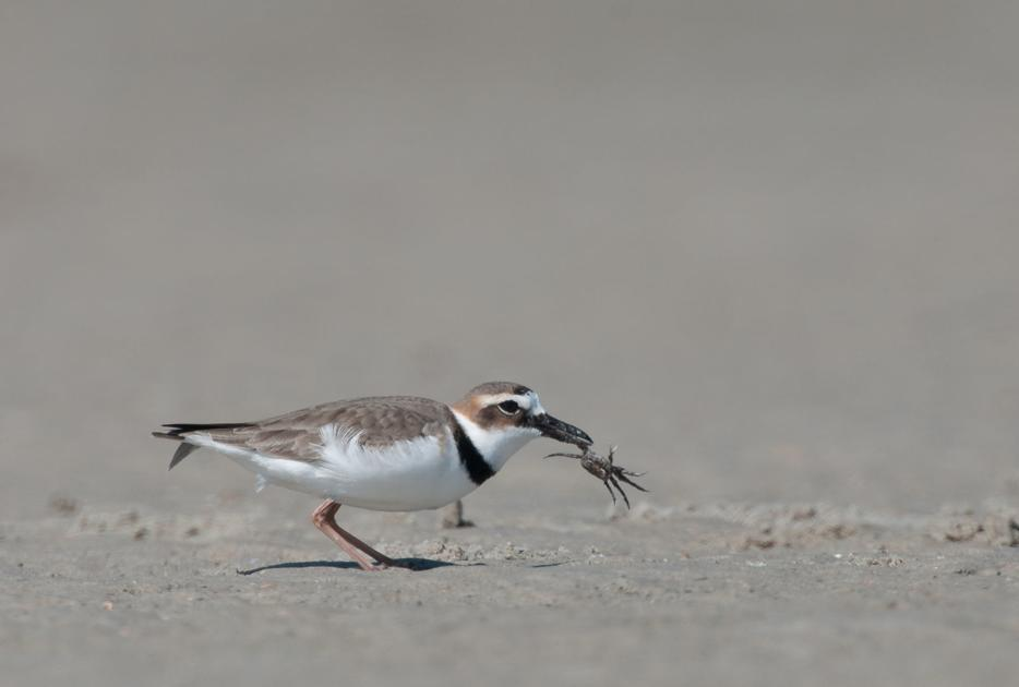 High erosion risk for beaches in SC, Southeast troubling for turtles and birds, study says