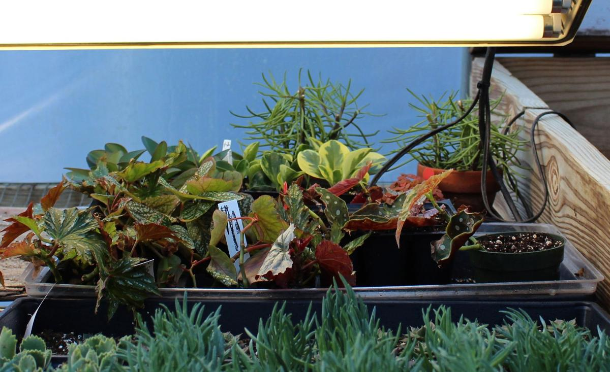 Artificial lights can keep houseplants growing in winter