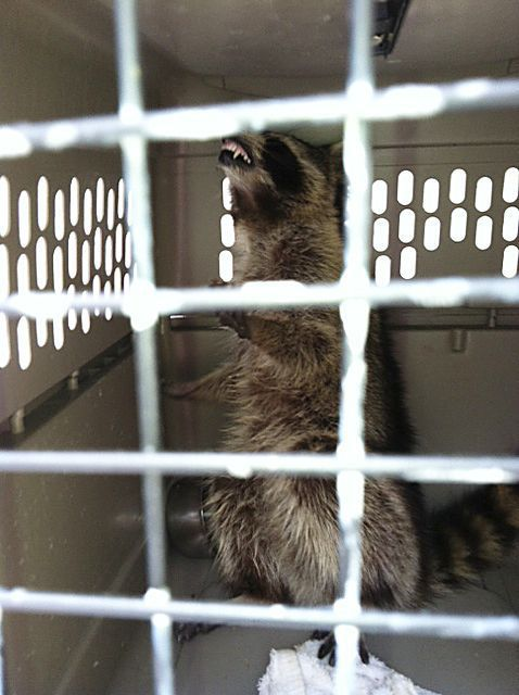 Person exposed to rabies by raccoon in Mount Pleasant