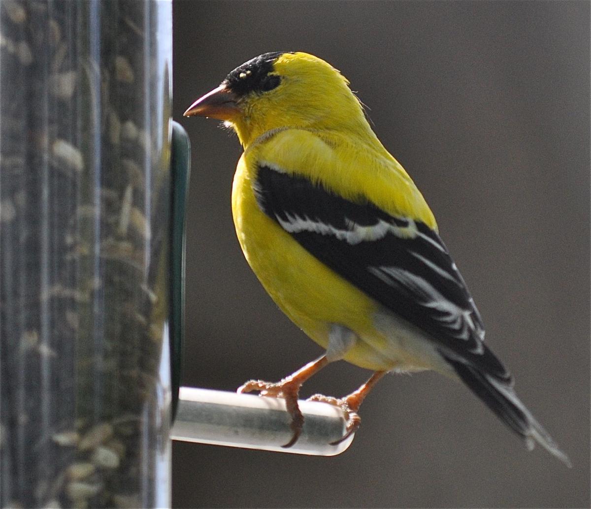 Charleston Bird Watchers The Great Backyard Count Is Coming