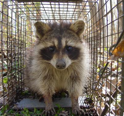 Rabid raccoon found in North Augusta area