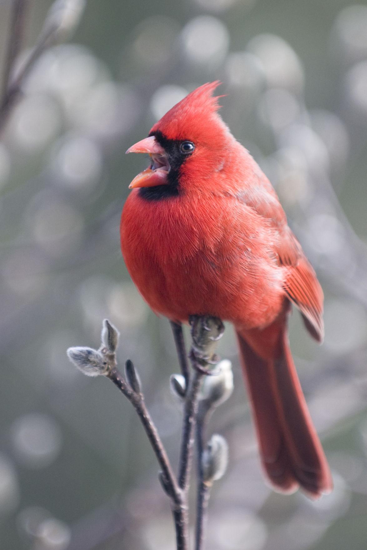 Cardinal (copy)