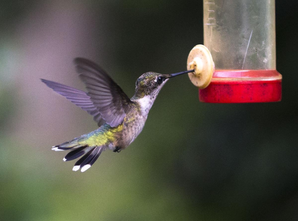Humming Bird Al Foster02.JPG