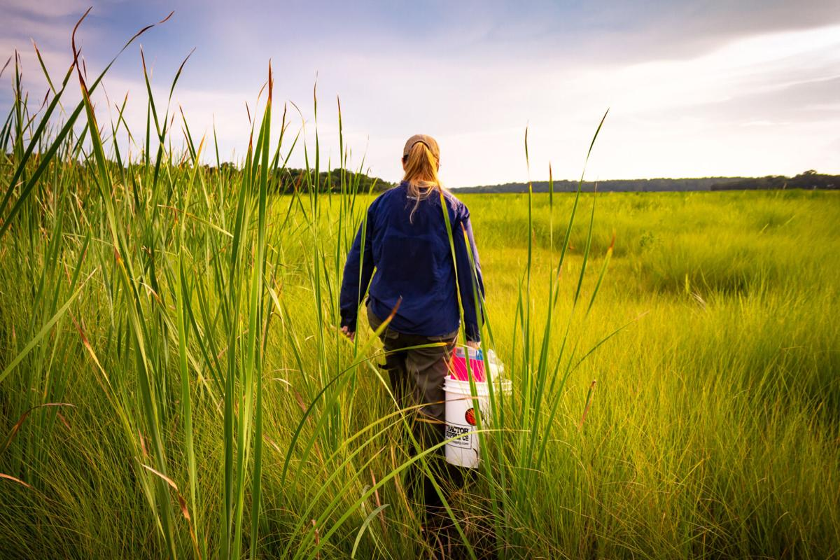 Christy Hand walks through a South Carolina marsh to check camera traps for images of elusive black rail