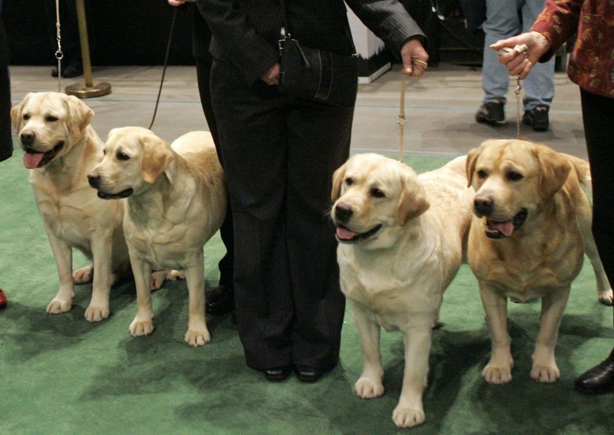Labs remain top dog, but bulldogs make waves