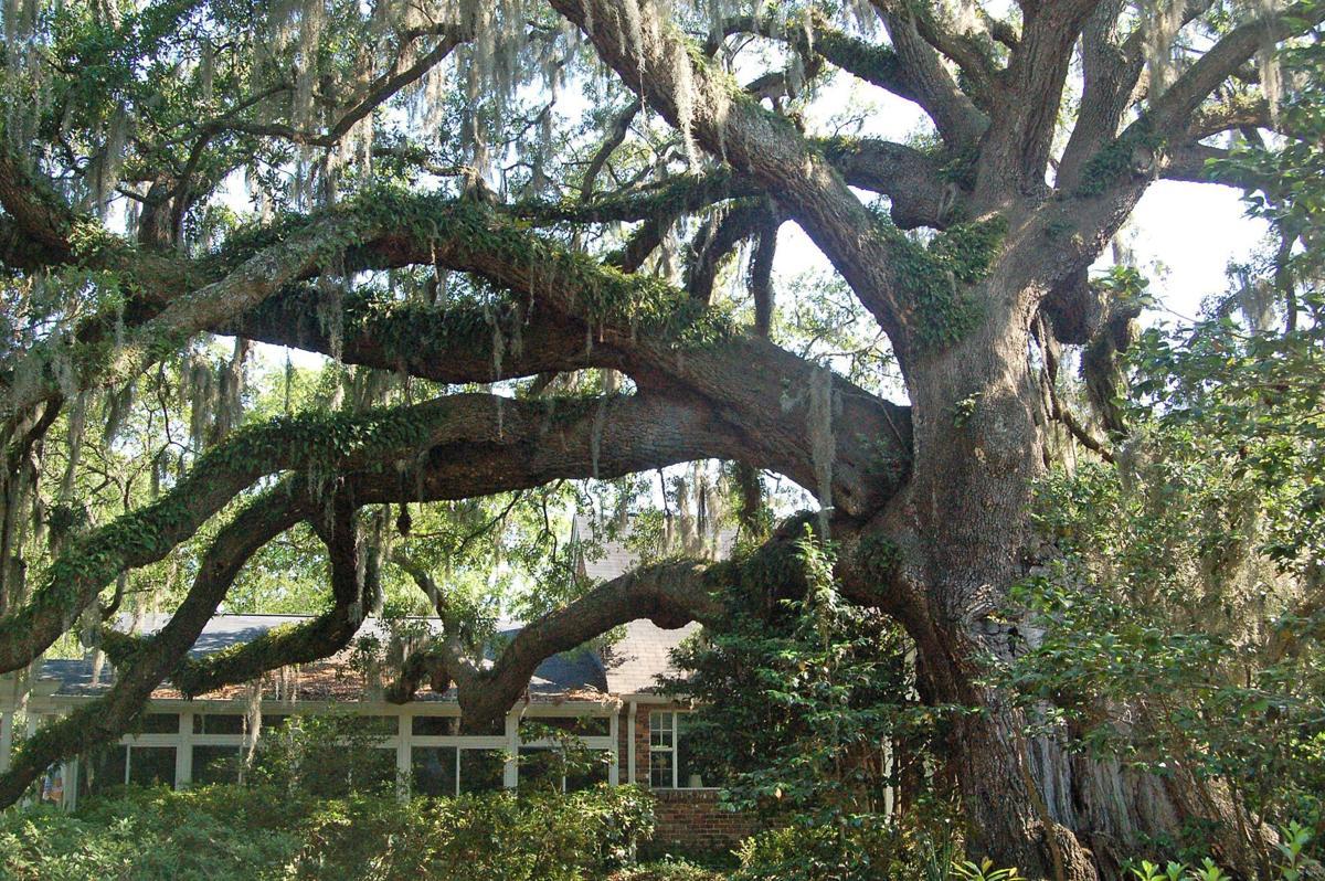 Storm damage, decay threaten historic live oak