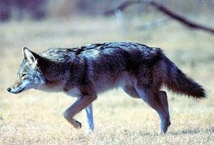 Coyote hunt incentives could get you a lifetime of free hunting (copy)