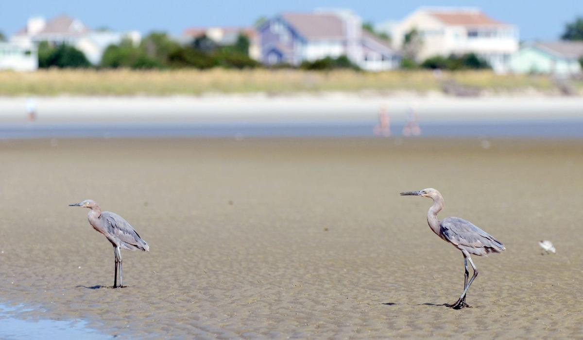 Lowcountry island is late summer migration stop