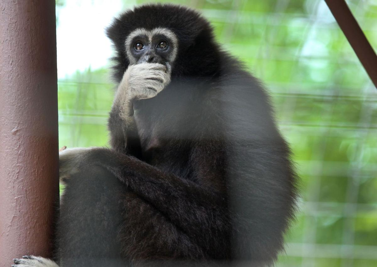 In gibbon dating game, Mia makes the rules It's no contest as all 4 bachelors lose out to cuddly Thai
