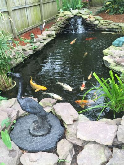 A Primer On Koi Ponds Location Size Equipment Fish Are