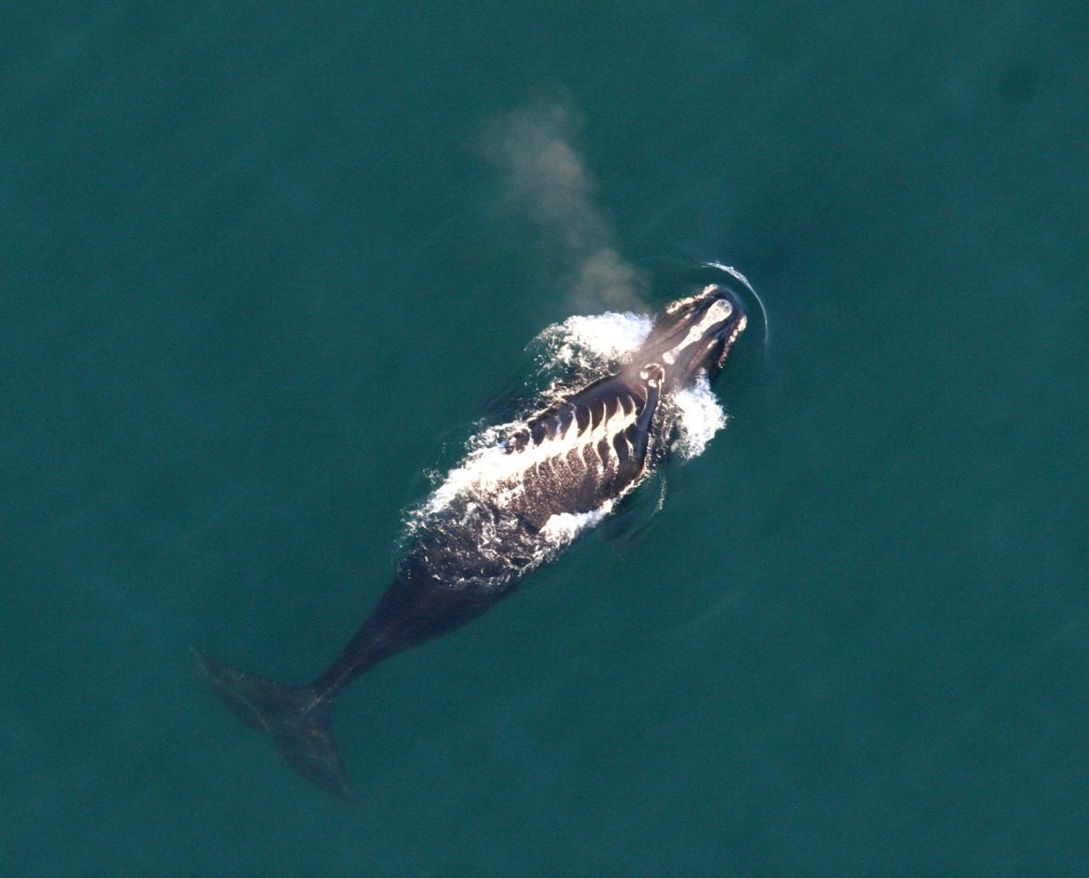 Aerial team looking for injured right whale