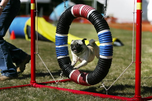 Trials test dogs' agility, builds bonds between pets and owners