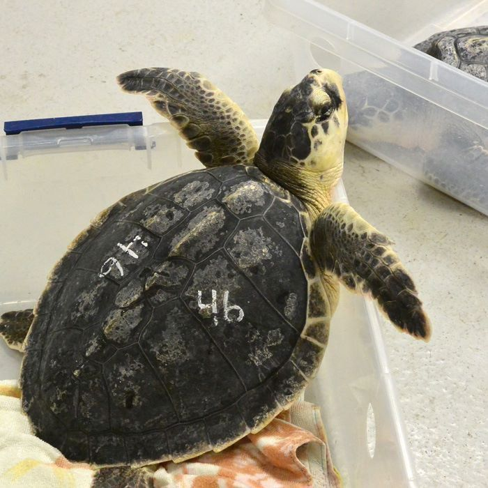 Aquarium paddles out to a new milestone as 150th sea turtle is released into briny blue