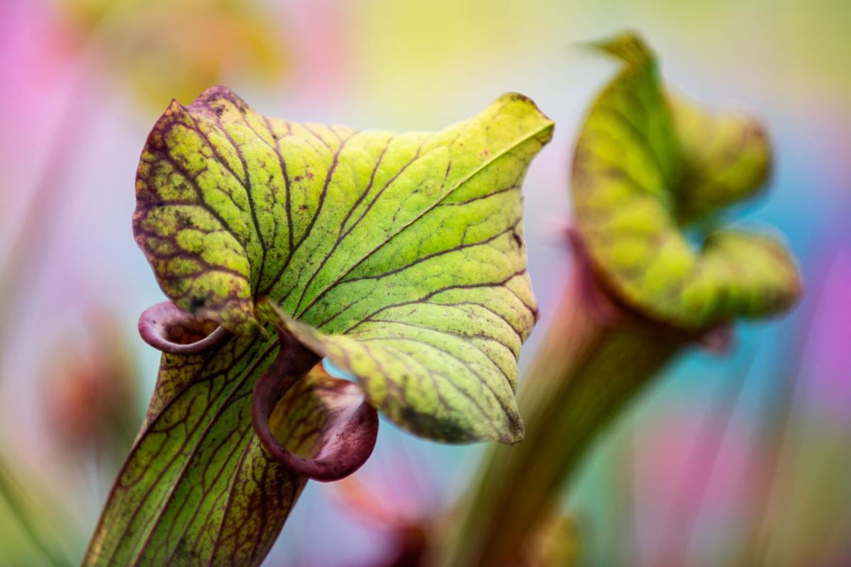 American pitcher plant Dreamstime