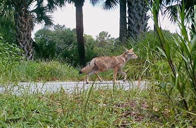 pc-113017-ne-coyote (copy) (copy)