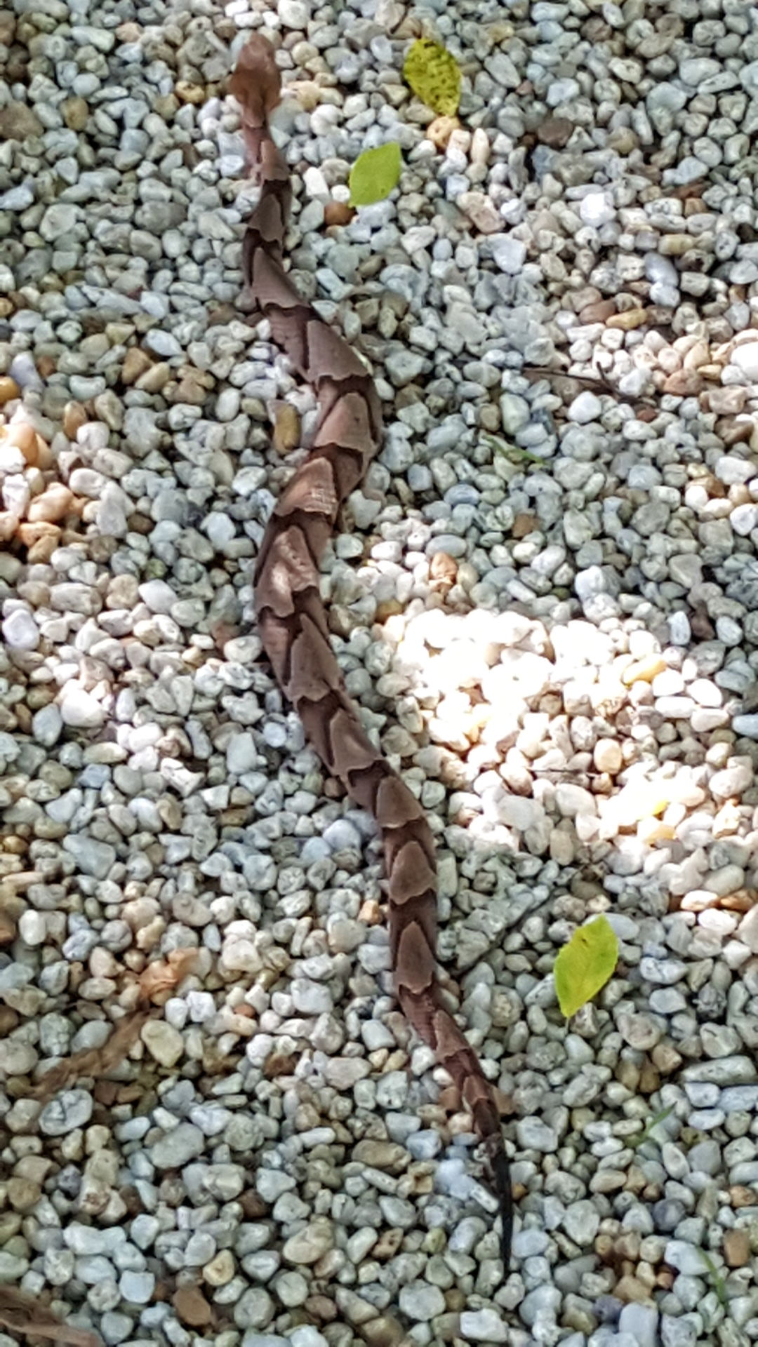 south carolina venomous snakes biting at record pace news