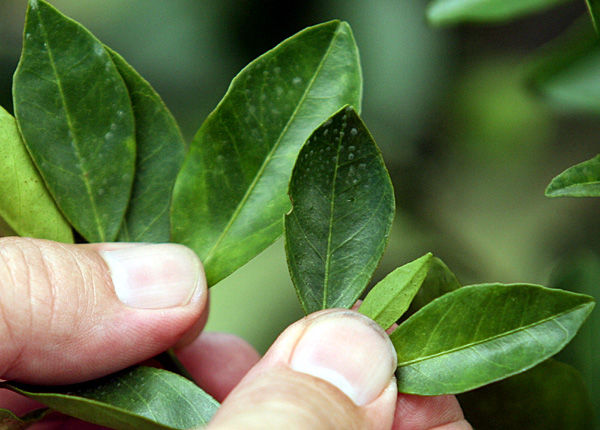 Florida's citrus crops under attack from incurable 'greening' bacteria