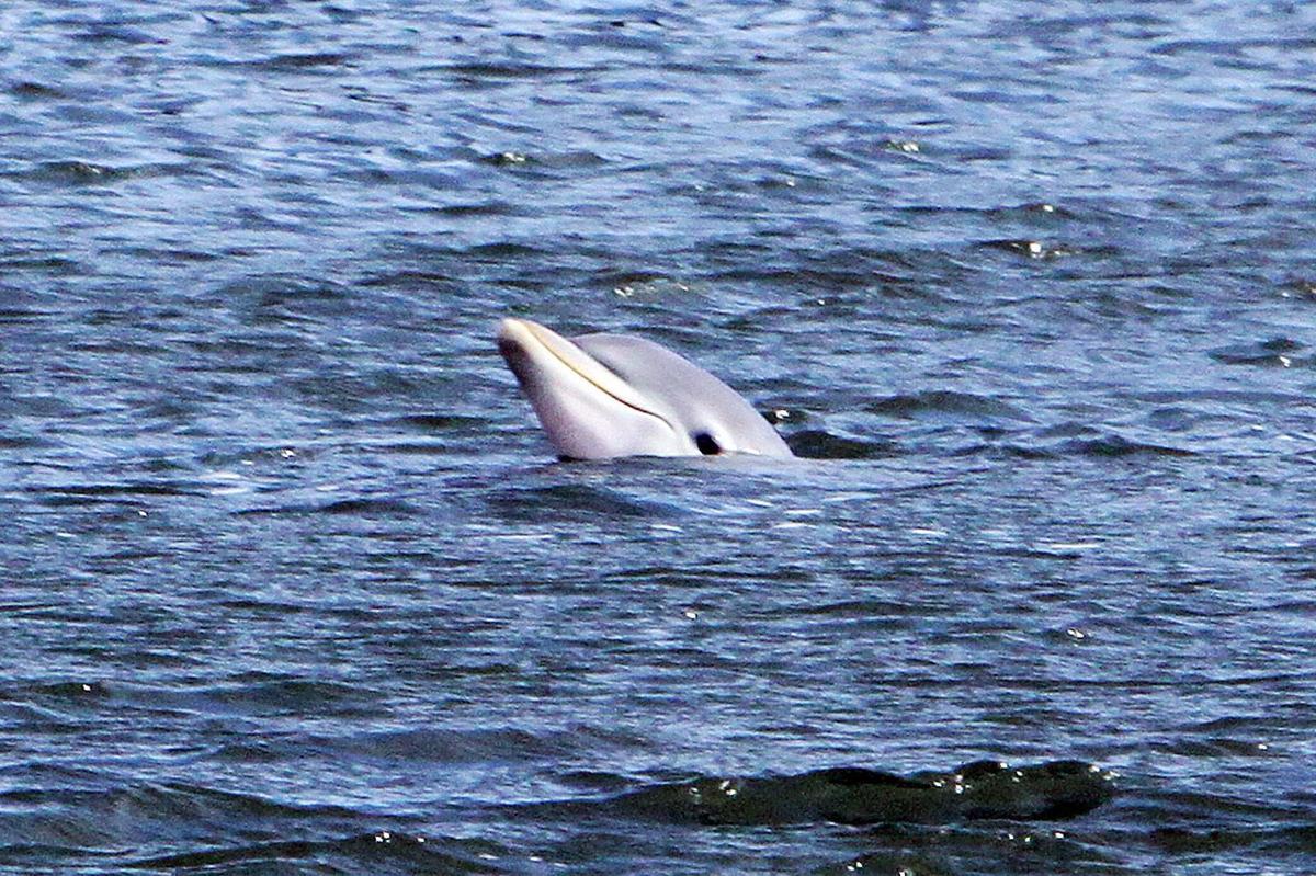 Deadly dolphin virus hits S.C. coast Three have tested positive so far