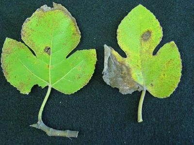 Fungus a sign of fall Fair skies ideal for Cercospora