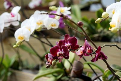 The lure of orchids Gorgeous flowers put on a biological, visual show