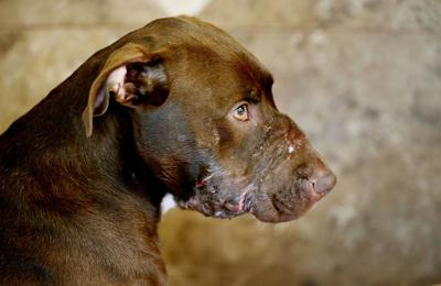 Additional surgery unnecessary for abused dog Caitlyn