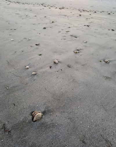 Swarm of dead jellies, shrimp, crab litters South Carolina beach