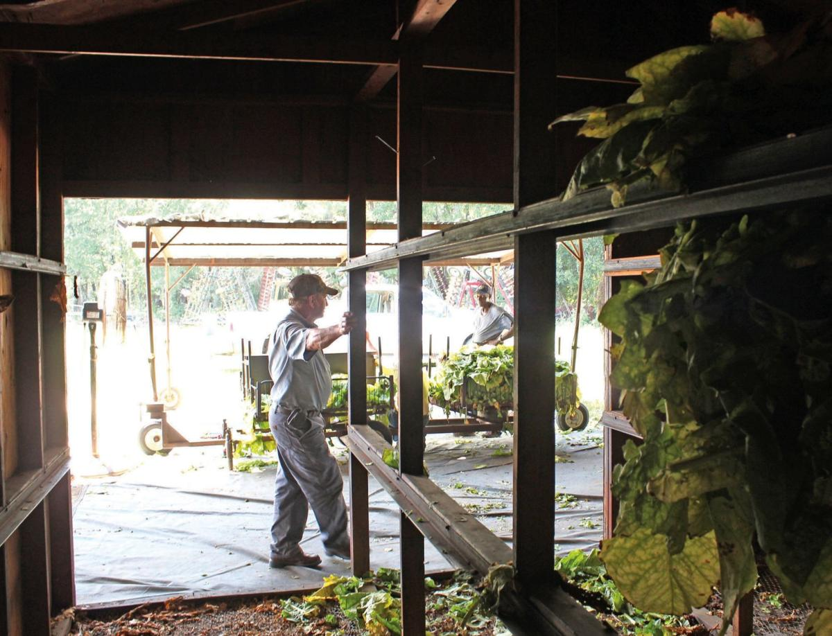 Pee Dee farmers remain dedicated to tobacco production