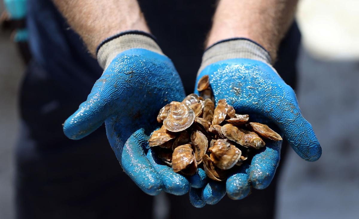tiny oysters.jpg