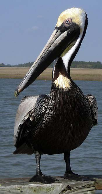 Delisted pelican has some worried